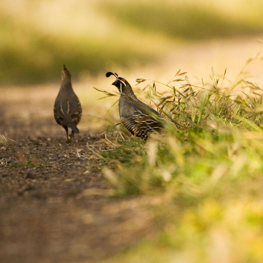 quail-creek-quail-pair-900x900